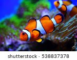 Clownfish And Anemones In Reef...