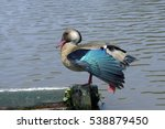 Small photo of Brazilian duck or Brazilian teal, Amazonetta brasiliensis, bird od the Anatidae family common in South America - Sao Paulo, SP, Brazil - February 8, 2015