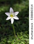 Small photo of Pink rain lily, Zephyranthes robusta, flower of the Amaryllidaceae family, originating in Brazil, Argentina and Uruguay and naturalized in many countries - Sao Paulo, SP, Brazil - December 17, 2016