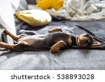 Cute Brown Dachshund On The Bed