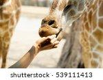 Giraffe Eat   Food And Feeding