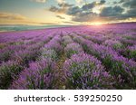 lavender beautiful meadow.... | Shutterstock . vector #539250250