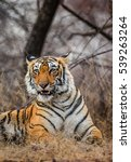 portrait of a bengal tiger.... | Shutterstock . vector #539263264
