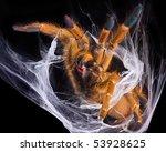 An Obt Tarantula Is Showing He...