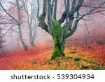 Ukraine  Beech Forest In The...