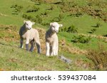 Two Lambs.  Queenstown  New...