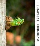 Small photo of Molting Cicada