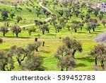 jerusalem olive tree field | Shutterstock . vector #539452783