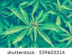 cannabis marijuana leaf closeup ... | Shutterstock . vector #539603314