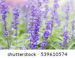 beautiful lavendin in the garden | Shutterstock . vector #539610574