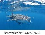 Whale Shark Moment