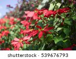 poinsettia at canary islands | Shutterstock . vector #539676793