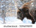European Bison  Wisent  Bison...