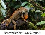 green iguana in costa rica | Shutterstock . vector #539769868