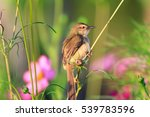Bird Brown Prinia During...