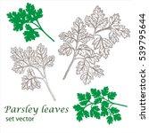 parsley leaves. vector drawing. ... | Shutterstock .eps vector #539795644