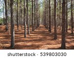 A Grove Of Pine Trees Planted...