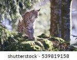 eurasian lynx   Shutterstock . vector #539819158