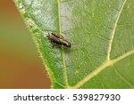 Fleas Cricket In The Wild ...
