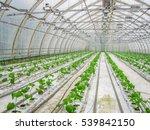 industrial farming cucumbers in ... | Shutterstock . vector #539842150