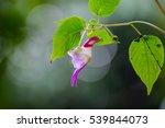 Balsaminaceae  Parrot Flower...