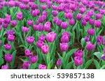 Amazing Nature Of Purple Tulip...
