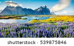 blooming lupine flowers on the... | Shutterstock . vector #539875846