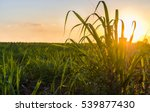 sunset over sugar cane field | Shutterstock . vector #539877430