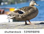 Duck Photographed At The Lake....
