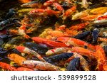 Colorful Carps Fish.