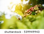 robusta coffee farm and... | Shutterstock . vector #539949943