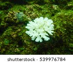 Small photo of Acropora aspera Dana staghorn coral on rock underwater with scuba diving