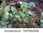 kale in the field   Shutterstock . vector #539983348