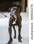 Small photo of Black American Pit Bull Terrier