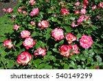 Stock photo rose cherry parfait jubile du prince de monaco 540149299