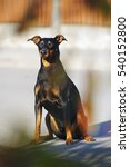 Small photo of Black and tan German Pinscher dog with natural droopy ears sitting outdoors at sunny weather