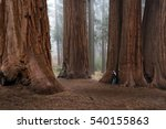 adult male enjoying nature in a giant sequoia forest with fog in the background - stock photo