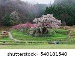 A Huge Sakura Cherry Tree...