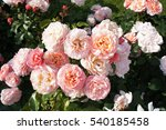 Stock photo many pink roses in garden 540185458
