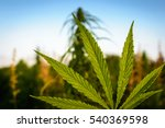 leaves of marijuana plant on... | Shutterstock . vector #540369598
