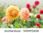 Beautiful Chrysanthemums Flowe...