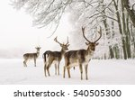 A male of fallow deer with...