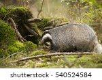 european badger | Shutterstock . vector #540524584