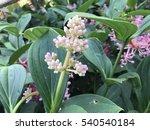 Small photo of American elder flower Sambucus (elder or elderberry) is a genus of flowering plants in the family Adoxaceae. Caprifoliaceae, but was reclassified due to genetic evidence.