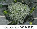 fresh broccoli  | Shutterstock . vector #540545758