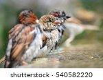 Sparrows Having Bird Bath