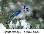Small photo of Blue Jay - Cyanocitta cristata - perched in a pine tree amongst snow falling and accumulated in the branches.