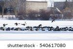 Ducks Swimming On A Semi Froze...