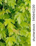 Small photo of Fresh green leaves of Red Maple 'Oktober Glory' (Acer rubrum)