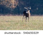 Large White Tailed Deer Buck I...